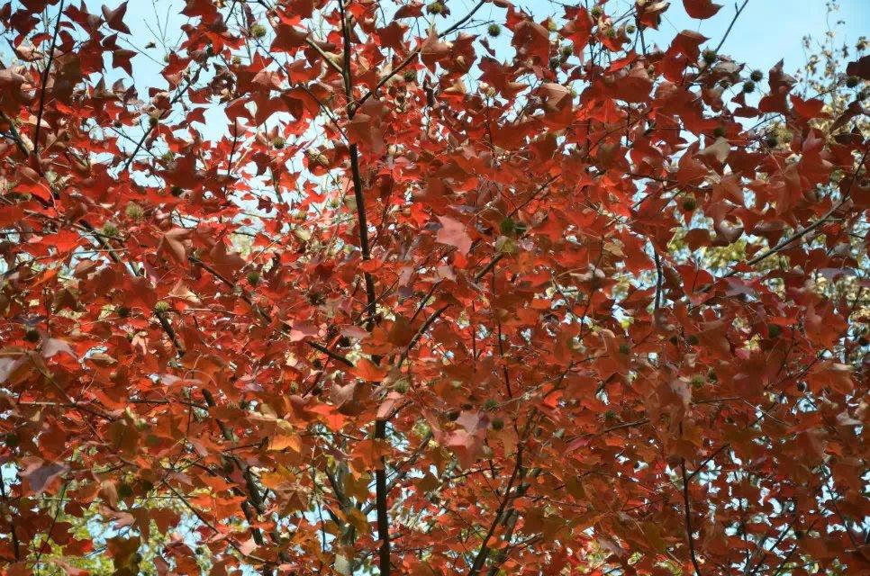 天平山红枫